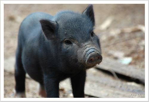 cerdo miniatura de color negro