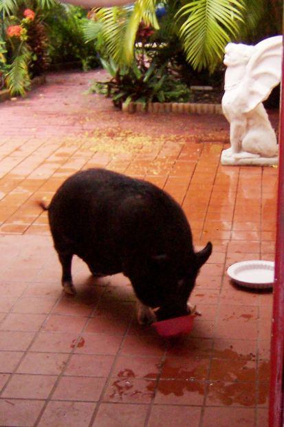 cerdo vietnamita en patio