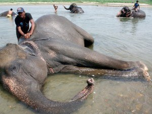 elefante caído