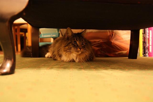 gato escondido debajo de la mesa
