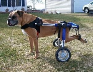 parálisis en perros - perro con silla de ruedas