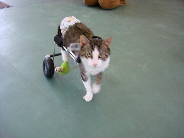 Gatos paralíticos – Causas, síntomas y tratamientos – www.animaltia.es