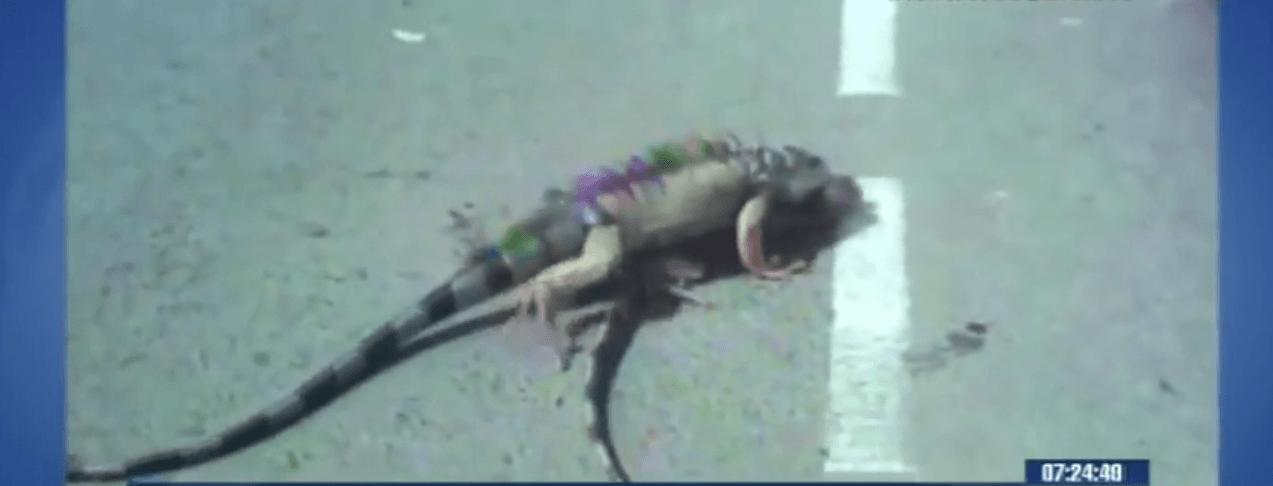 iguana ayuda a su compañera herida