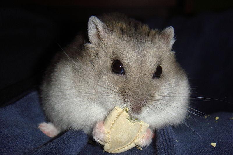 Hámster siberiano comiendo