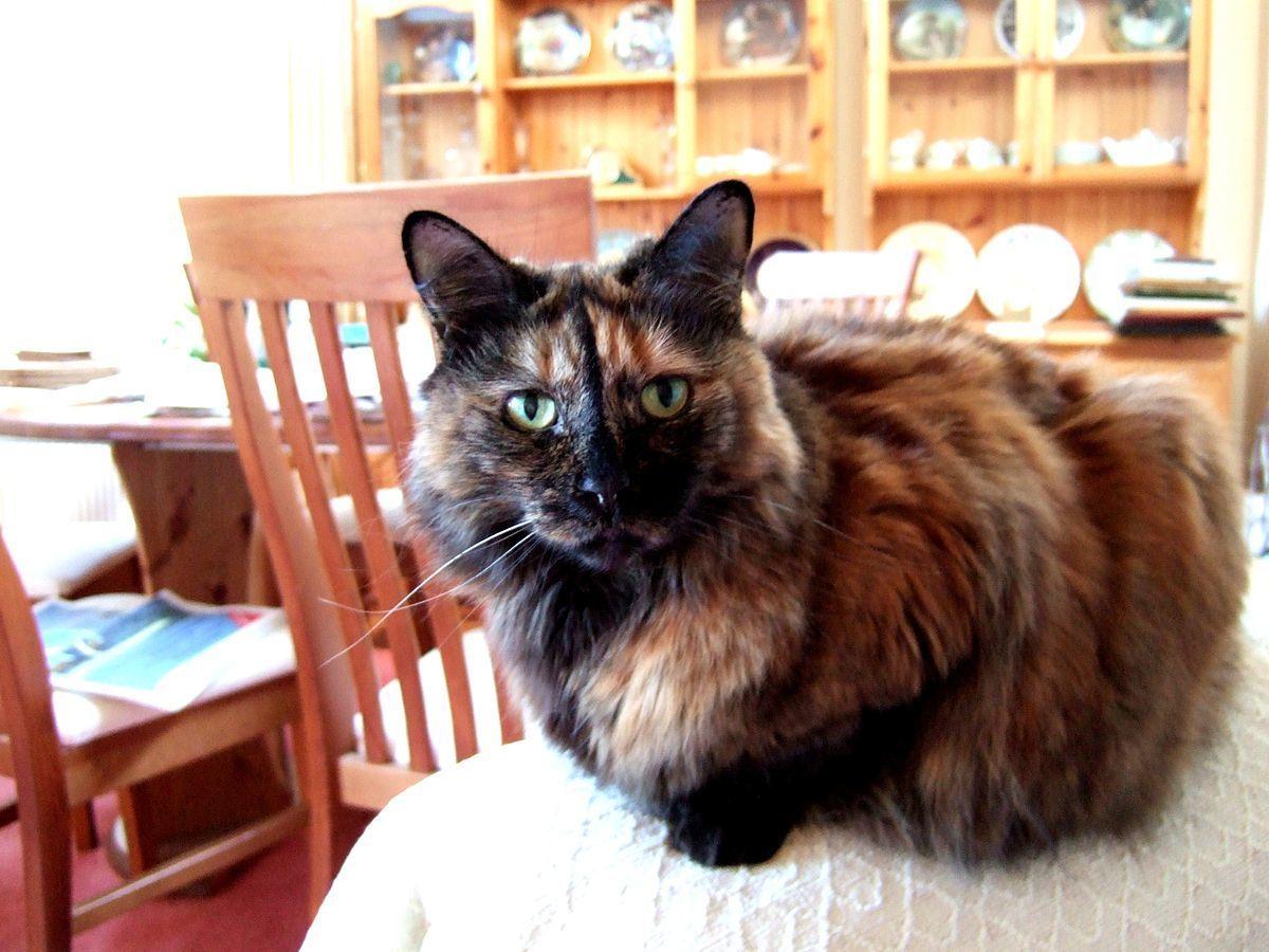 gato carey con pelo largo