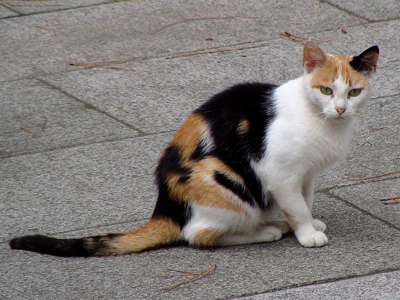 los gatos carey y calicó o tricolores explicados www
