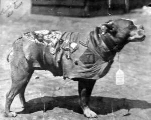 El sargento Stubby de perfil