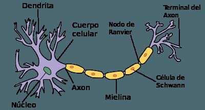 Componentes de una neurona