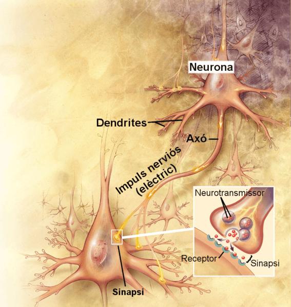 Sistema nervioso canino - Comunicación entre neuronas
