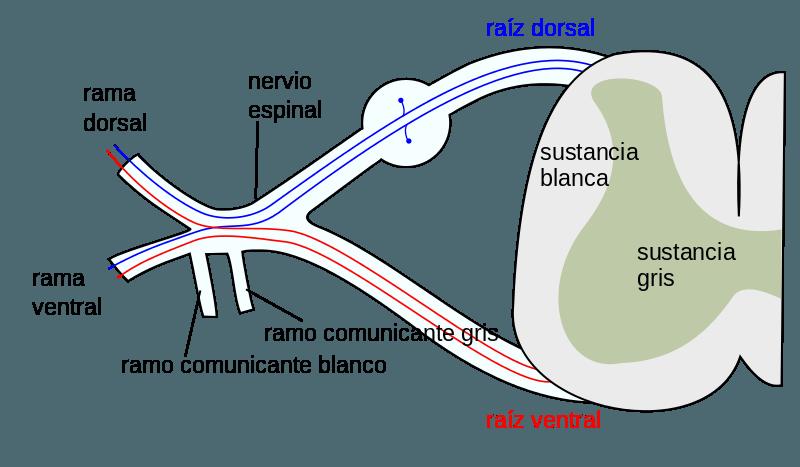 Nervio mixto
