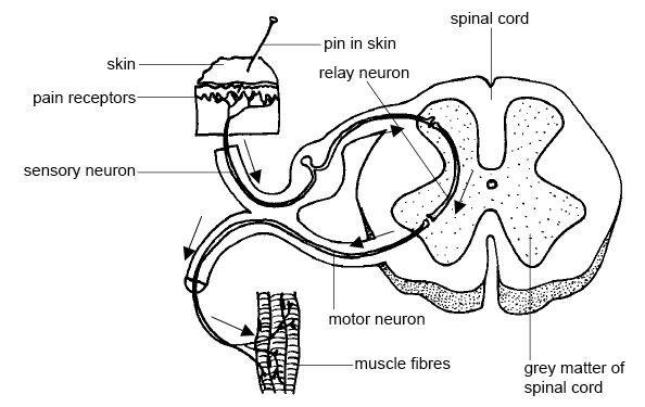 Relación entre tipos de neuronas