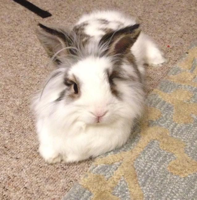 Lionhead rabbit - broken color