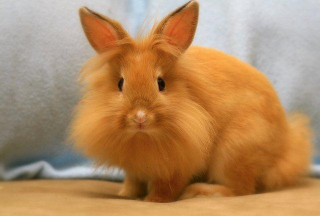 Conejo cabeza de león - color naranja