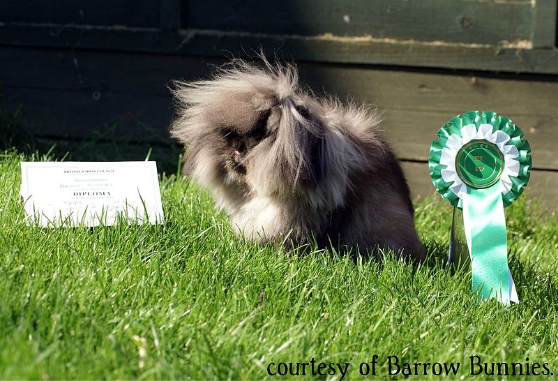 Lionhead rabbit - medium sable color