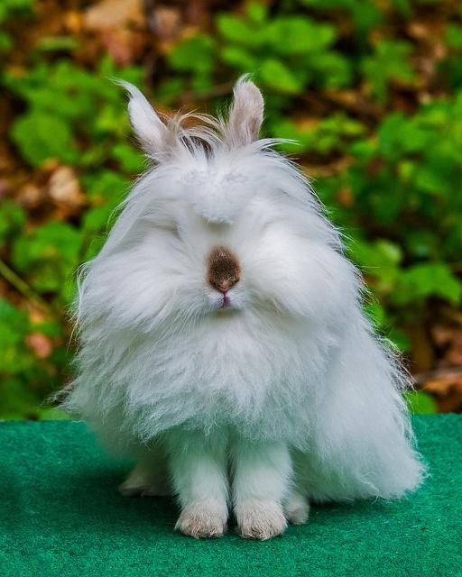 Conejo cabeza de león - melena doble