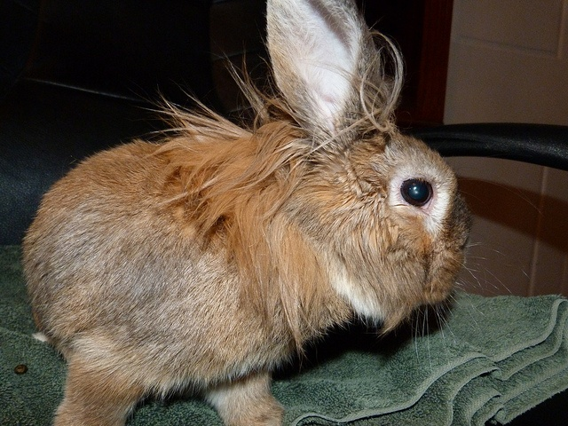 Lionhead rabbit - Simple mane